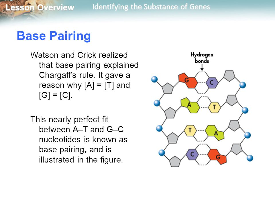 Base Pairing Watson and Crick realized that base pairing explained Chargaff's rule. It gave a reason why [A] = [T] and [G] = [C].